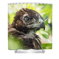 Buteo Jamaicensis Shower Curtain