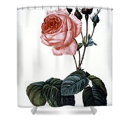 Cabbage Rose Shower Curtain by Granger