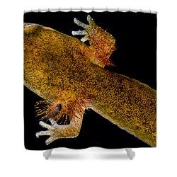 California Giant Salamander Larva Shower Curtain by Dant� Fenolio