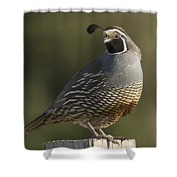 California Quail Male Santa Cruz Shower Curtain by Sebastian Kennerknecht