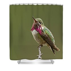 Calliope Hummingbird Shower Curtain by Doug Herr