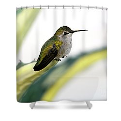 Calliope Hummingbird On Agave Shower Curtain