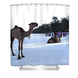 Camel On Beach Kenya Wedding 5 Shower Curtain