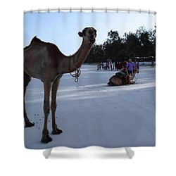 Camel On Beach Kenya Wedding 6 Shower Curtain