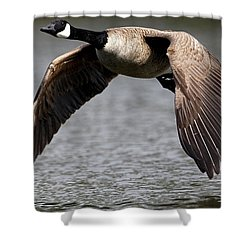 Canada Goose Gliding Above Water Shower Curtain