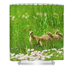 Shower Curtain featuring the photograph Canada Goose Goslings In A Field Of Daisies by Sharon Talson