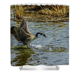 Canada Goose Takes Flight, Frank Lake, Alberta, Canada Shower Curtain