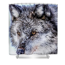 Canadian Grey Wolf In Portrait, British Columbia, Canada Shower Curtain