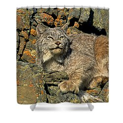 Shower Curtain featuring the photograph Canadian Lynx On Lichen-covered Cliff Endangered Species by Dave Welling