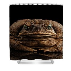 Cane Toad - Bufo Marinus, Giant Neotropical Or Marine Toad Isolated On Black Background, Front View Shower Curtain