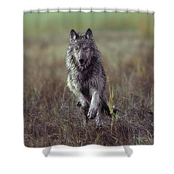 Canis Lupus Shower Curtain by Tim Fitzharris