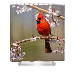 Cardinal In Cherry Shower Curtain by Angel Cher