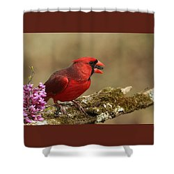 Cardinal In Spring Shower Curtain by Sheila Brown