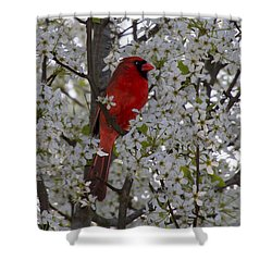 Cardinal In White Blossoms Shower Curtain by Barbara Bowen