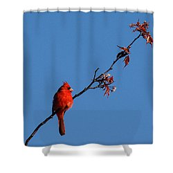 Cardinal On A Cherry Branch Dsb033 Shower Curtain by Gerry Gantt