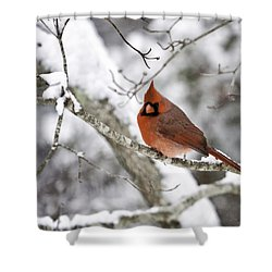 Cardinal On Snowy Branch Shower Curtain by Rob Travis