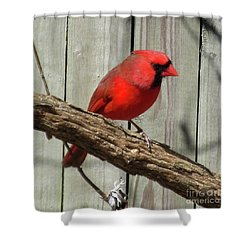 Cardinal Waiting For Spring Shower Curtain