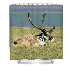 Caribou Resting Shower Curtain by Anthony Jones