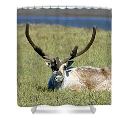 Caribou Resting In Tundra Grass Shower Curtain by Anthony Jones