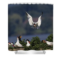 Caspian Tern Colony Shower Curtain by Gary Hall