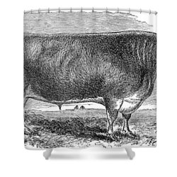 Cattle, C1880 Shower Curtain by Granger