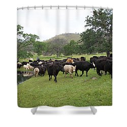 Cattle Shower Curtain by Diane Bohna