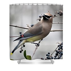 Cedar Waxwing 1 Shower Curtain