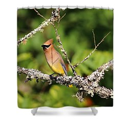Cedar Waxwing  Shower Curtain by Carol R Montoya