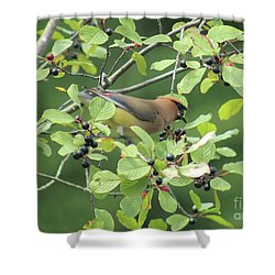 Cedar Waxwing Eating Berries Shower Curtain by Maili Page