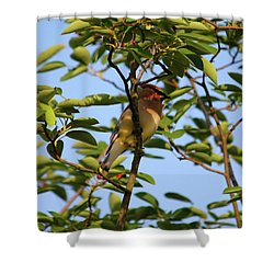 Cedar Waxwing Shower Curtain by Mark A Brown