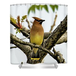 Cedar Waxwing - Spring Visitor Shower Curtain