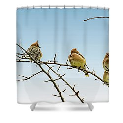 Cedar Waxwings Shower Curtain by Geraldine Scull
