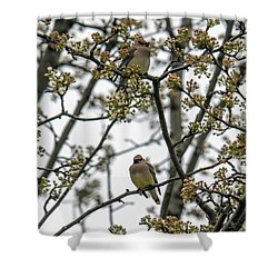 Cedar Waxwings In A Blossoming Tree Shower Curtain