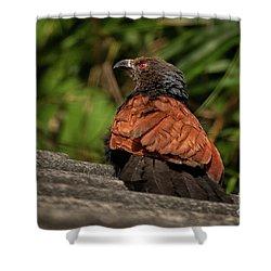 Centropus Sinensis Shower Curtain