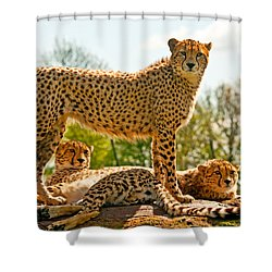 Cheetahs Three Shower Curtain