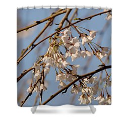 Cherry Blossoms Shower Curtain by Julie Niemela