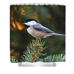 Chickadee In Spruce  Shower Curtain