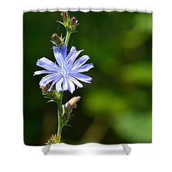 Chicory  Shower Curtain by Lyle Crump
