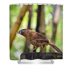 Chinese Hwamei  Edition 2 Shower Curtain