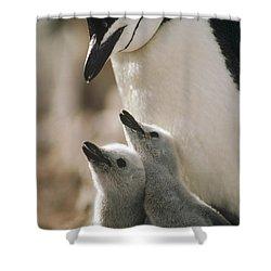 Chinstrap Penguin Pygoscelis Antarctica Shower Curtain by Tui De Roy