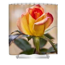 Shower Curtain featuring the photograph Christmas Rose by Joan Bertucci