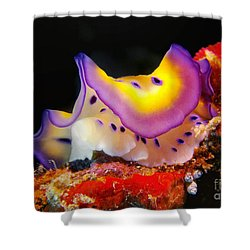 Chromodoris Kunei Nudibranch  Shower Curtain