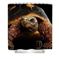 Close-up Of Red-footed Tortoises, Chelonoidis Carbonaria, Isolated Black Background Shower Curtain