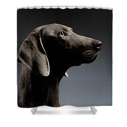 Close-up Portrait Weimaraner Dog In Profile View On White Gradient Shower Curtain by Sergey Taran