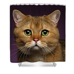 Closeup Golden British Cat With  Green Eyes On Purple  Shower Curtain by Sergey Taran
