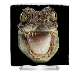 Closeup Head Of Young Cayman Crocodile , Reptile With Opened Mouth Isolated On Black Background, Fro Shower Curtain