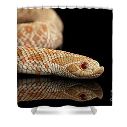 Closeup Pink Pastel Albino Western Hognose Snake, Heterodon Nasicus Isolated On Black Background Shower Curtain