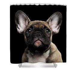 Closeup Portrait French Bulldog Puppy, Cute Looking In Camera Shower Curtain by Sergey Taran