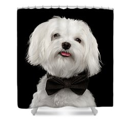 Closeup Portrait Of Happy White Maltese Dog With Bow Looking In Camera Isolated On Black Background Shower Curtain