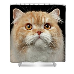 Closeup Portrait Of Red Big Persian Cat Angry Looking On Black Shower Curtain